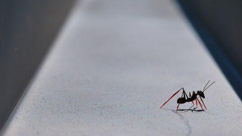 mieren op stelten