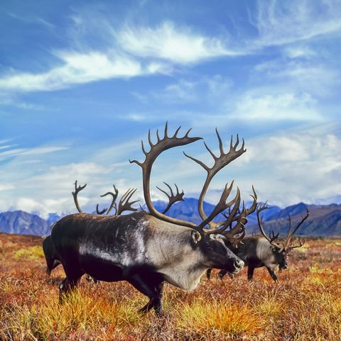 migrating bull caribou in autumn tundra