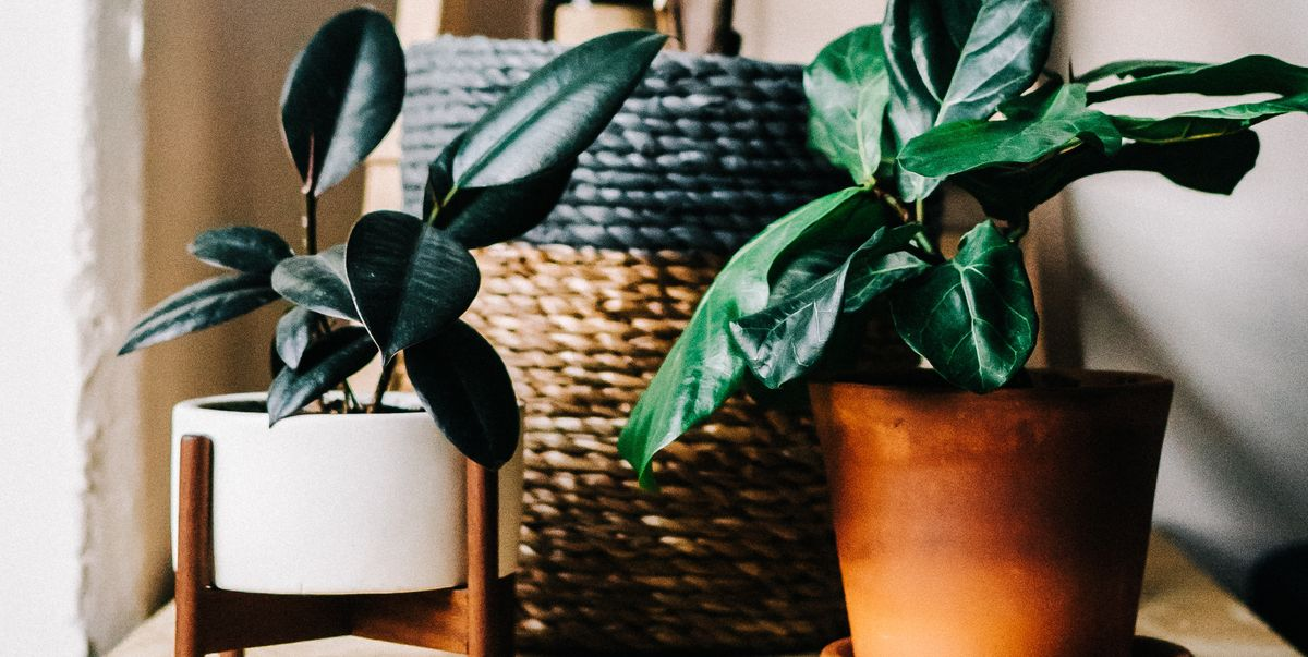 Piante Da Appartamento Robuste.10 Semplici Piante Da Appartamento Che Richiedono Poche Cure