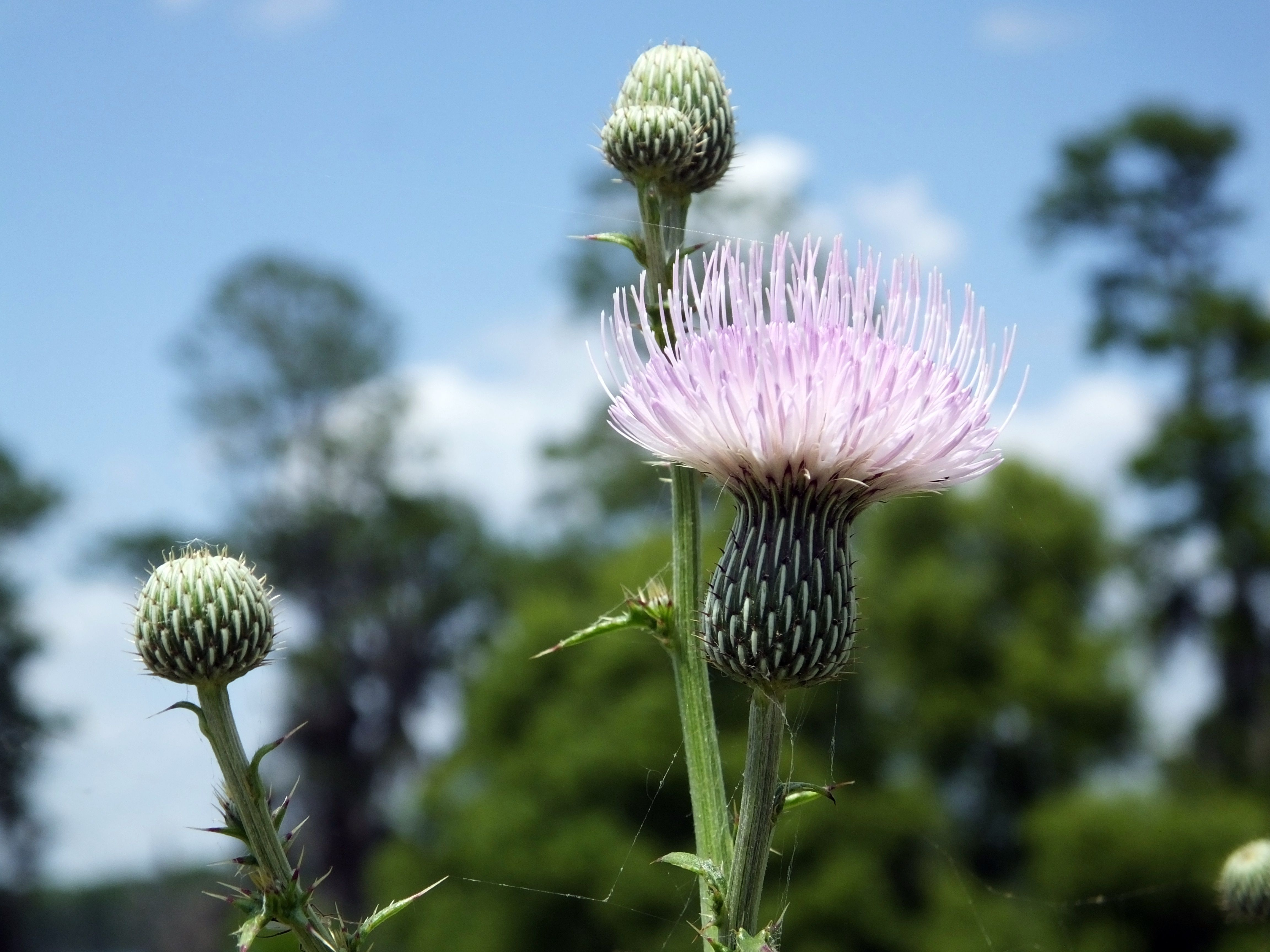 Milk Thistle Benefits: What Can the Herbal Remedy Do for You?