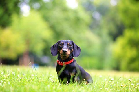 Mini chien teckel assis sur l'herbe