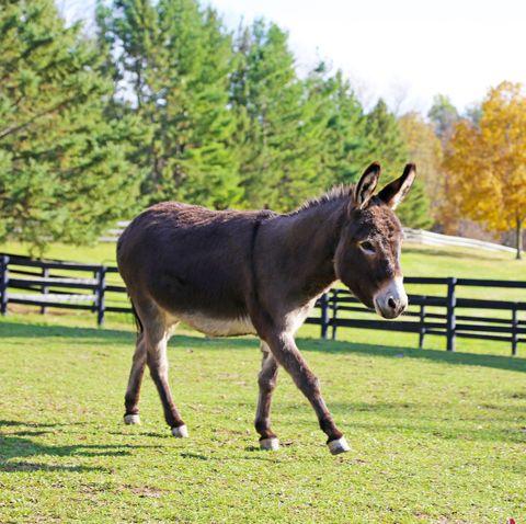 mini donkey good pet