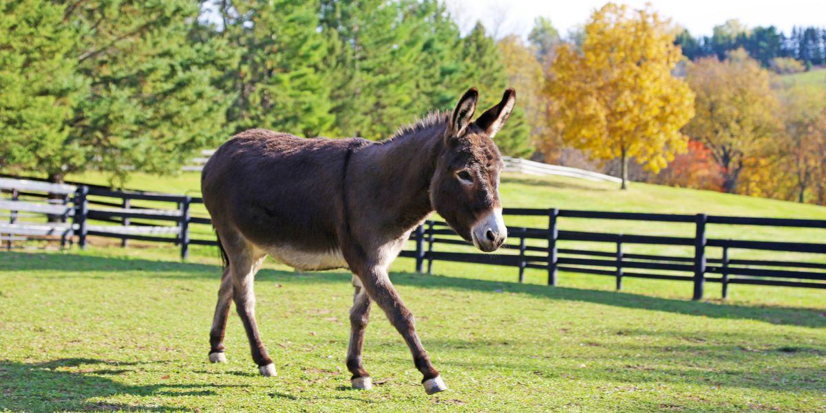 Mini Donkeys As Pets - Do Mini Donkeys Make Good Pets-3376