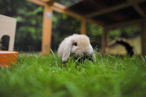 Mini lop eared rabbit