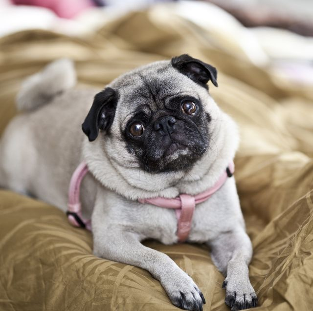 Portrait of a pug dog with punk harness.