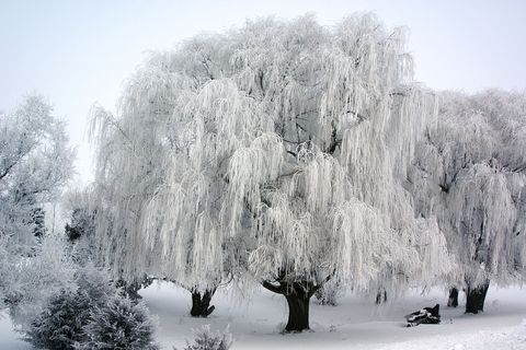 Snow, Winter, Frost, Tree, Freezing, Natural landscape, Atmospheric phenomenon, Woody plant, Plant, Branch,