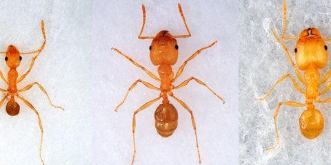¿Qué diferencia a las hormigas obreras de las soldados?
