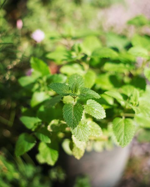 mint plant in a pot in vegetable garden under the sun