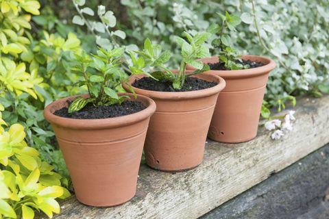 Mint plants in terracotta pots