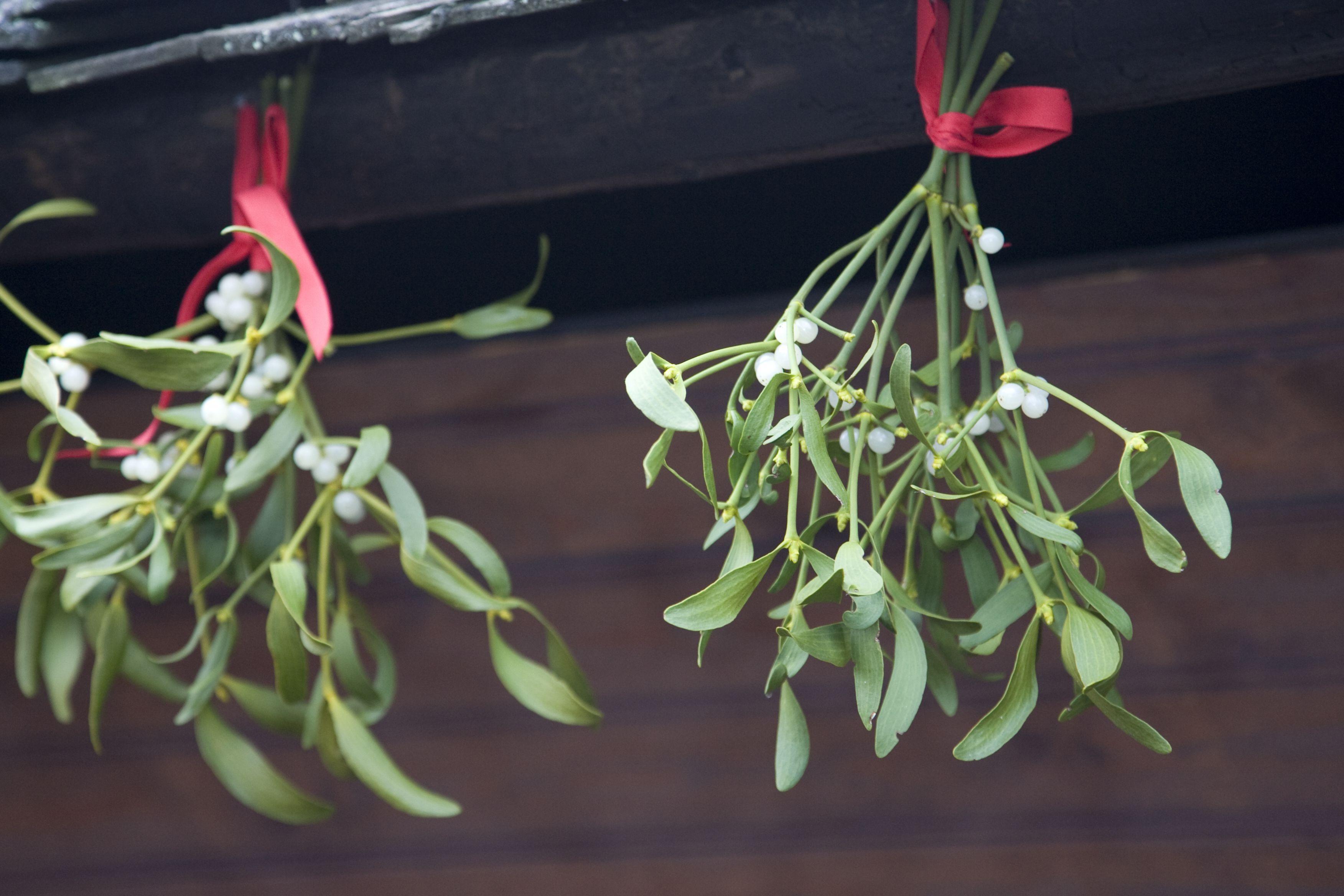 Where To Buy Mistletoe 2019 Where To Find Fresh Mistletoe