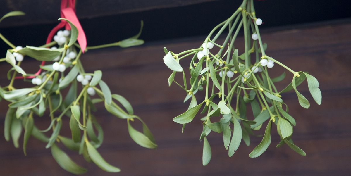 Where To Buy Mistletoe 2019 Where To Find Fresh Mistletoe