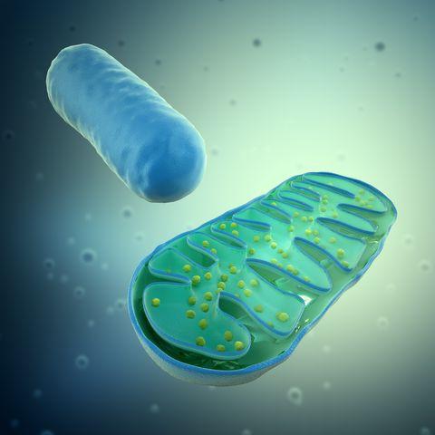mitocondrias, ilustraciones