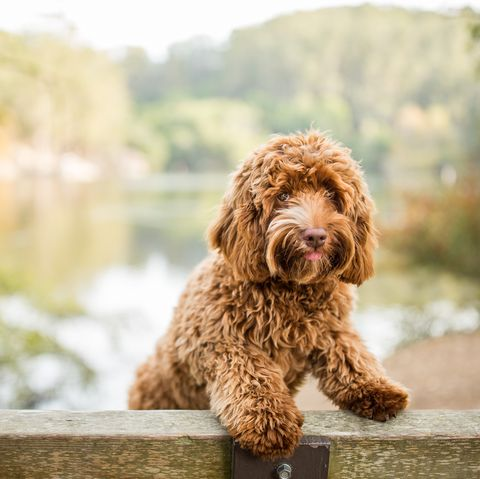 mixed breed dogs - labradoodle