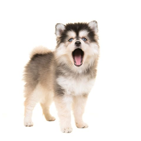 mixed breed dogs - pomsky