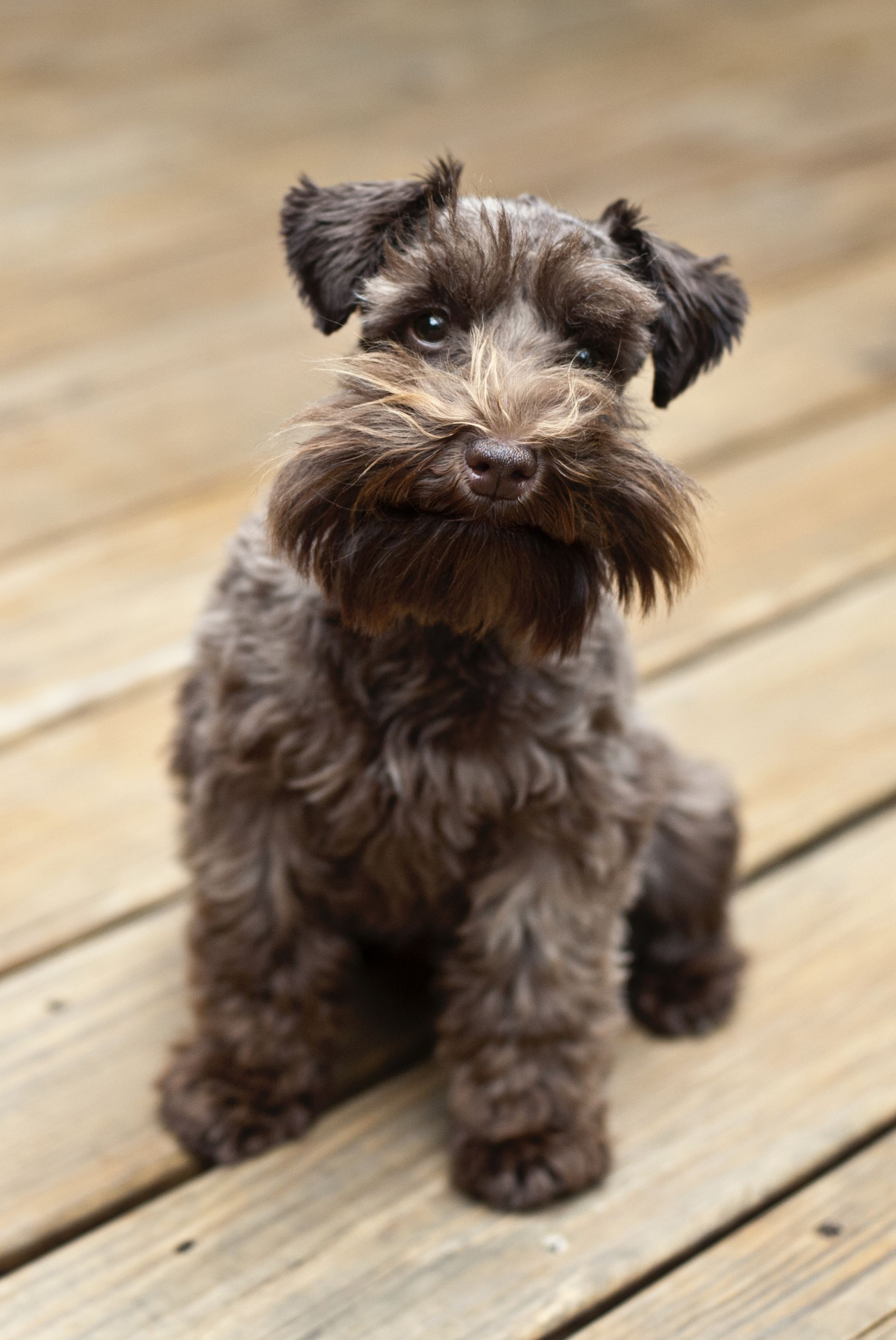 dogs that don't shed - miniature schnauzer
