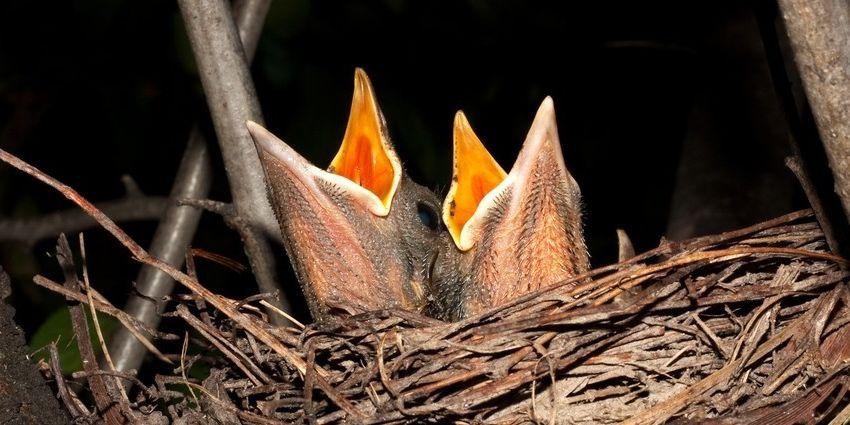 moeder vogel jongen verstoten