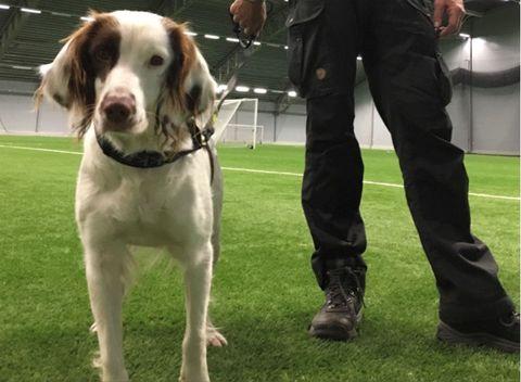 Dog, Mammal, Canidae, Dog breed, Pointer, Carnivore, Sporting Group, Braque saint-germain, Companion dog, Hunting dog,