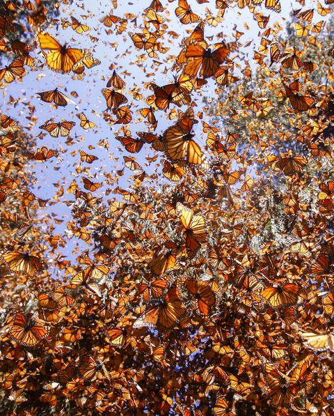 Papillons monarques (Danaus plexippus)