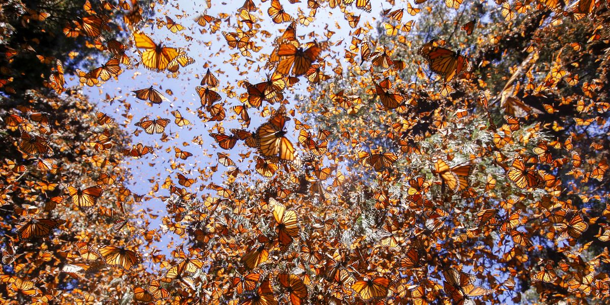There Were 1 Billion Monarch Butterflies. Now There Are 93 Million.