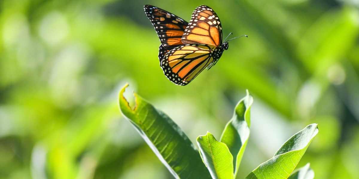 California S Monarch Butterflies Are On The Verge Of
