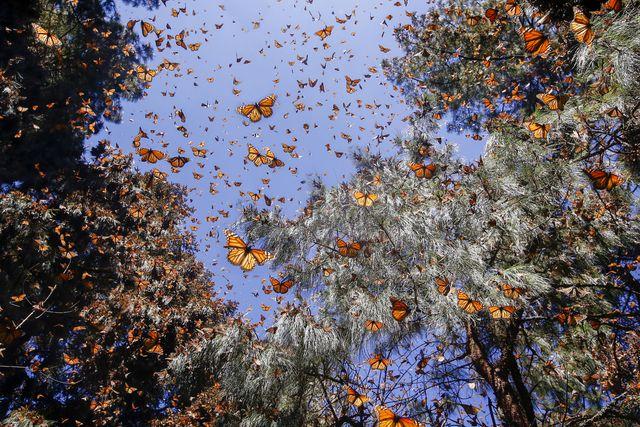 amérique centrale, mexique, état de michoacan, angangueo, reserva de la biosfera mariposa monarca  sierra chincua, papillon monarque danaus plexippus, en hivernage de novembre à mars dans des forêts de pins oyamel abies religiosa  central america, mexico, state of michoacan, angangueo, reserve of the biosfera monarca  sierra chincua, monarch butterfly danaus plexippus, in wintering from november to march in oyamel pine forests abies religiosa