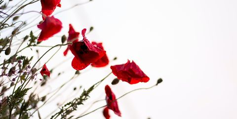 red flowers against a gray sky