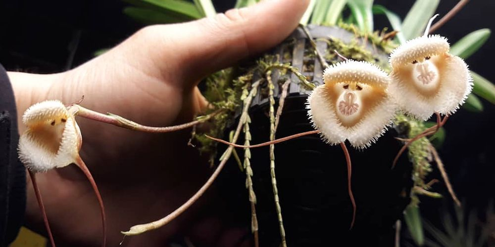These Rare Orchids Look Like Monkey Faces
