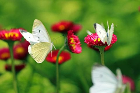 Butterfly, Insect, White, Flower, Moths and butterflies, Pollinator, Plant, Invertebrate, Petal, Macro photography,