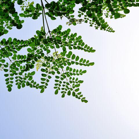moringa leaf drumstick tree