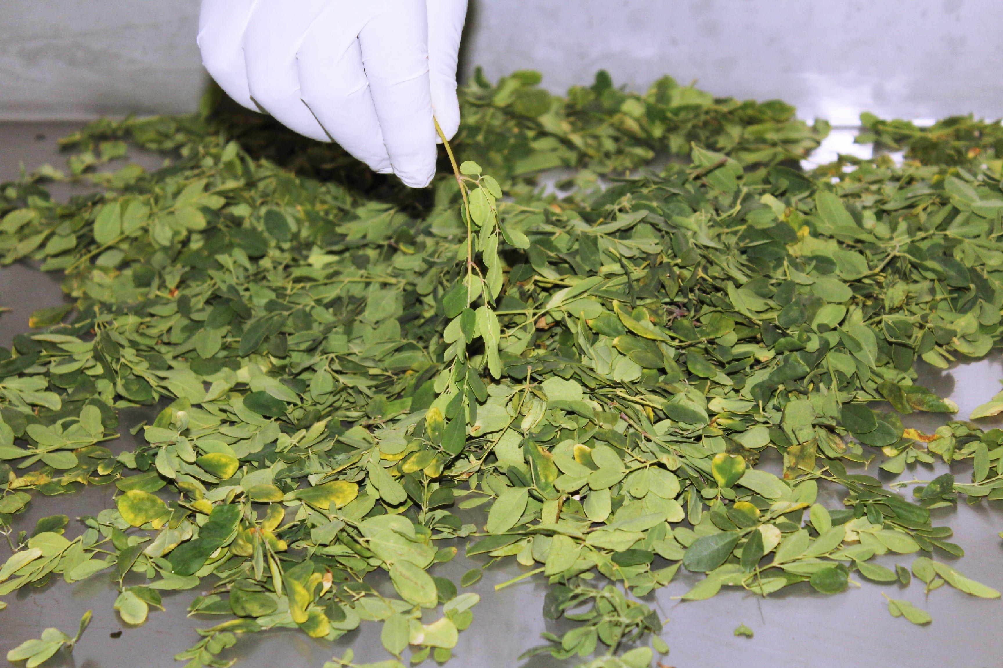 Moringa, la planta rica en proteínas que debes probar