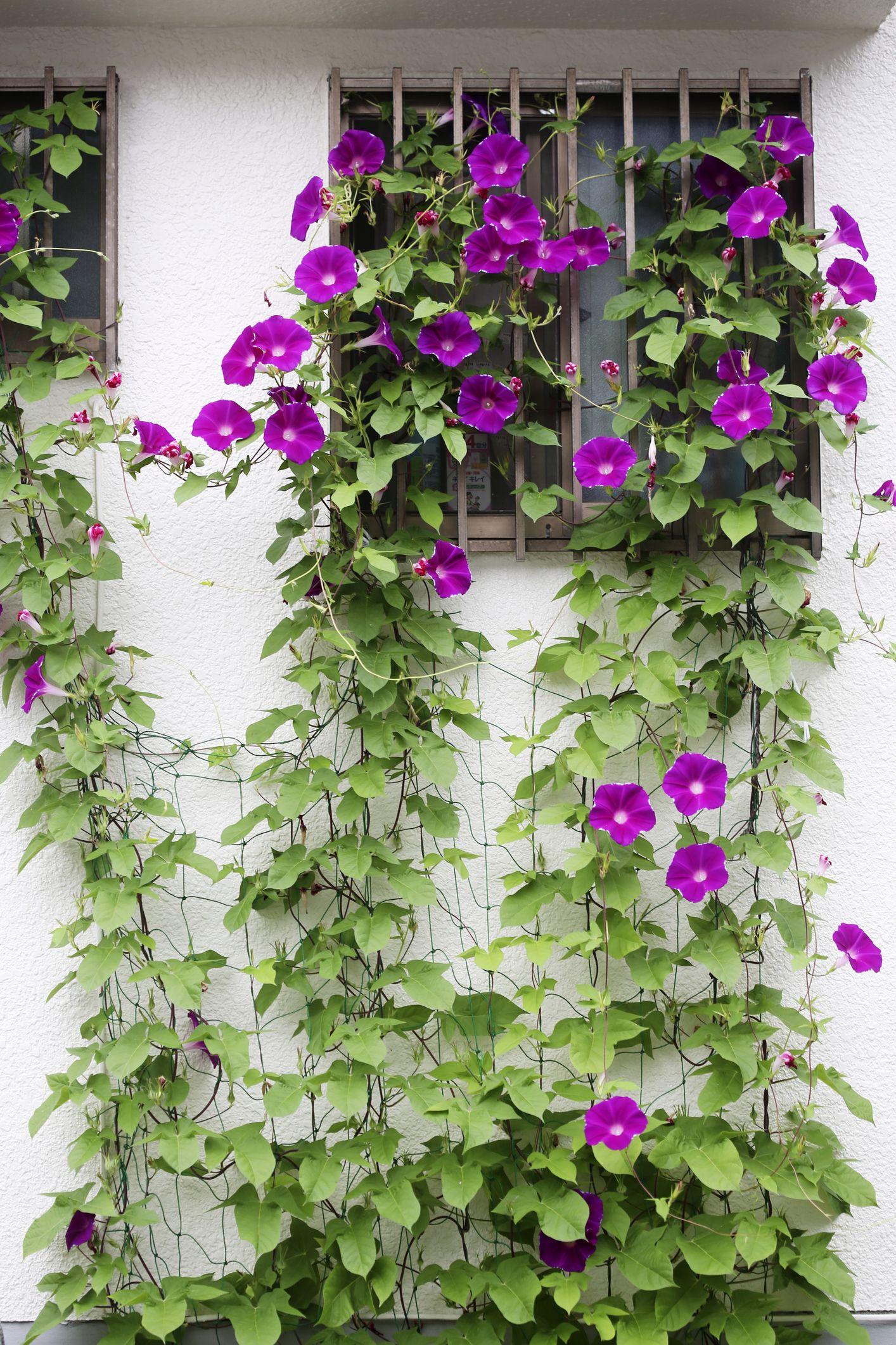 20 Best Flowering Vines Best Wall Climbing Vines To Plant