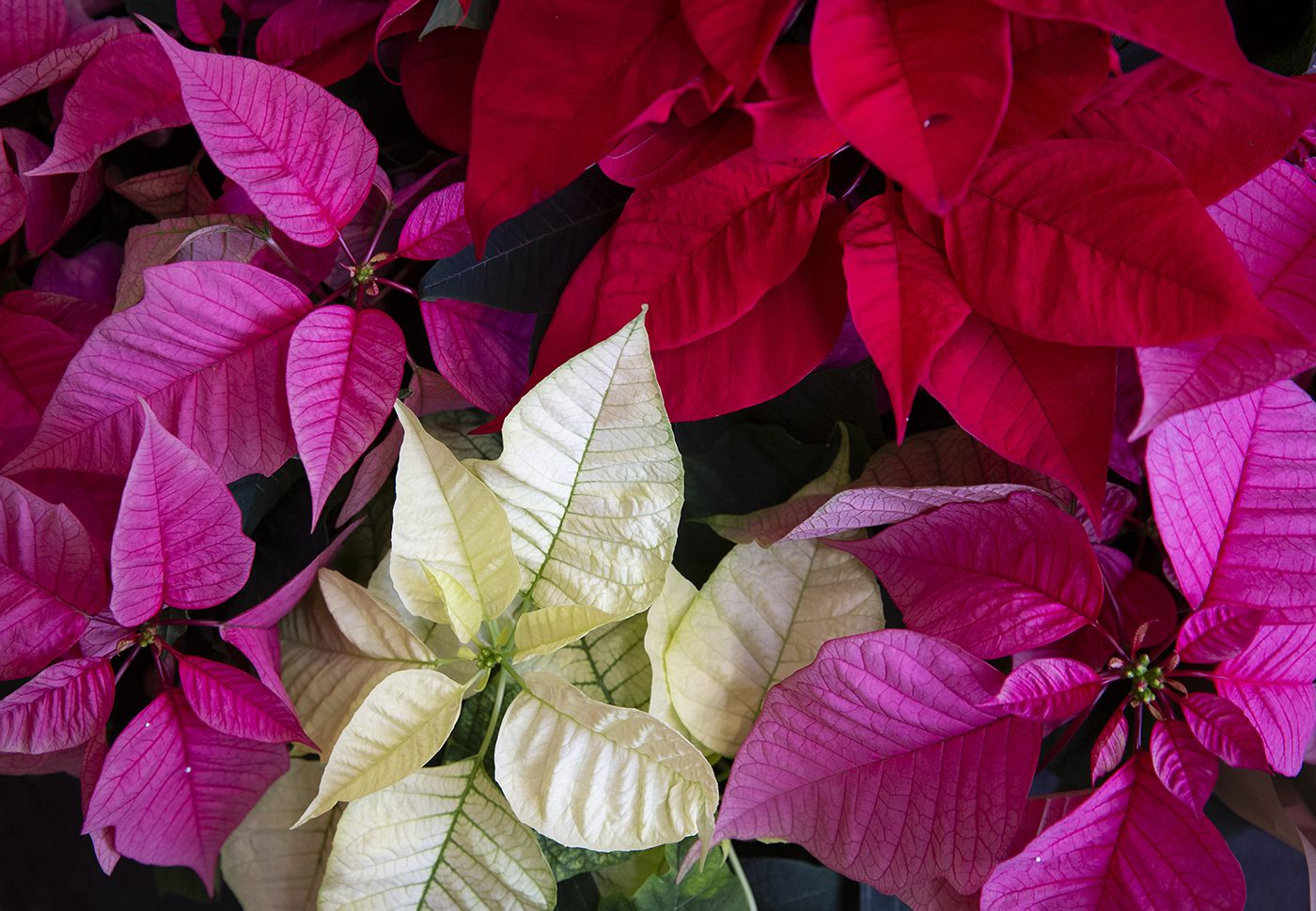 Morrisons Launches Poinsettias In Modern White Pink Red