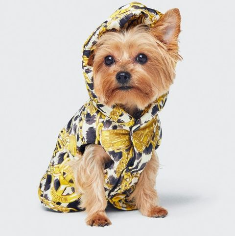 Dog, Canidae, Mammal, Dog clothes, Yorkshire terrier, Dog breed, Carnivore, Puppy, Companion dog, Terrier,
