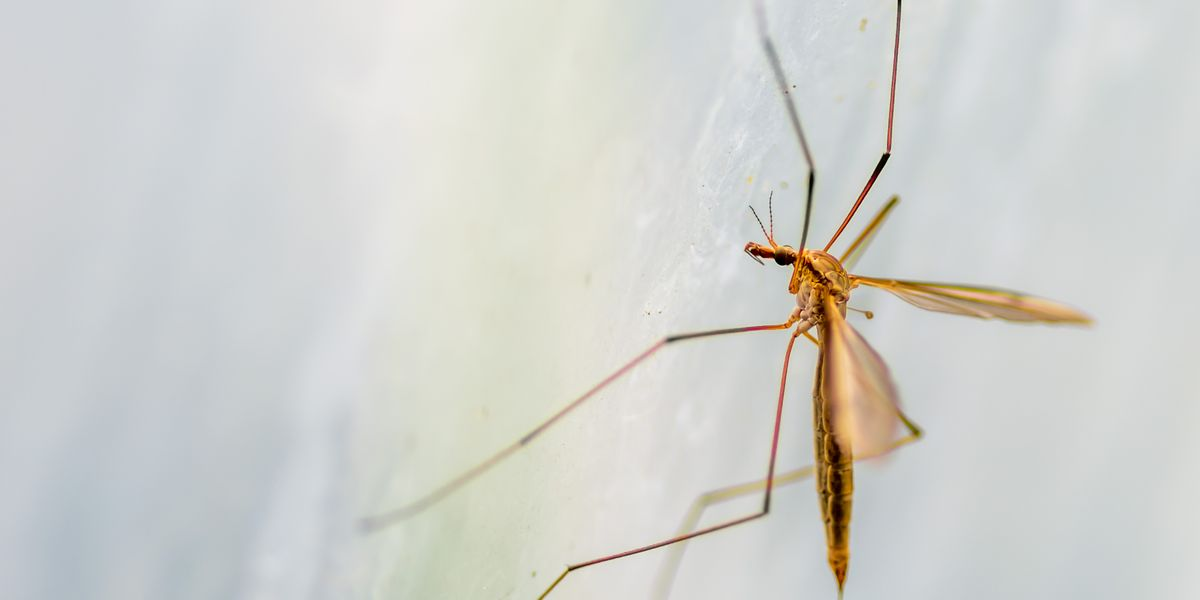 Here's How Crane Flies Differ From Mosquitoes—and How to Get Rid of Them