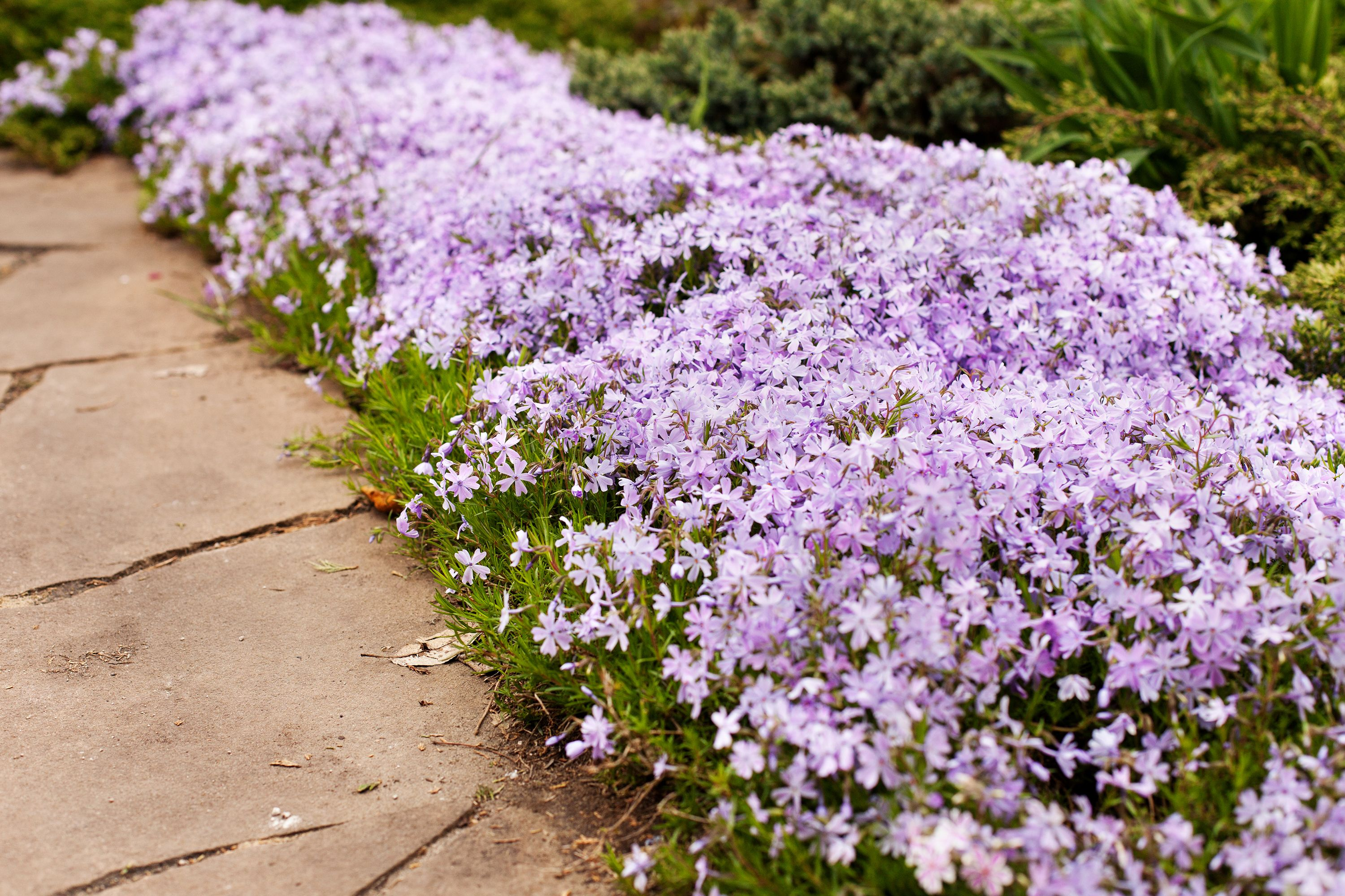 10 Best Edging Plants Plants For Walkway Borders