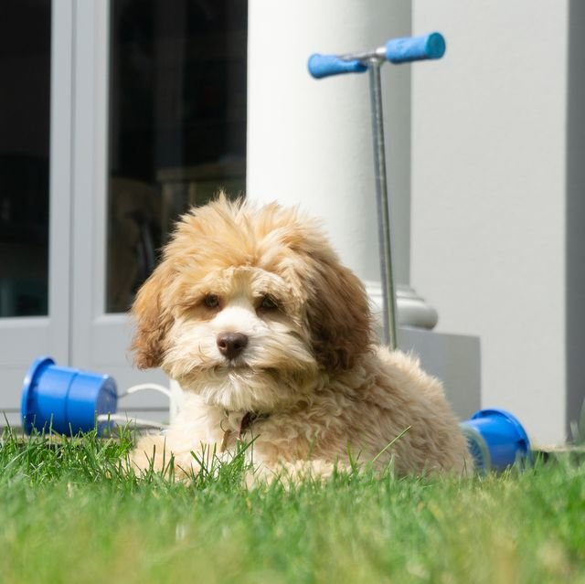 most-expensive-dog-breeds