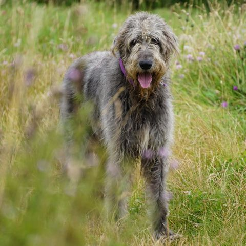 most-expensive-dog-breeds-irish-wolfhound