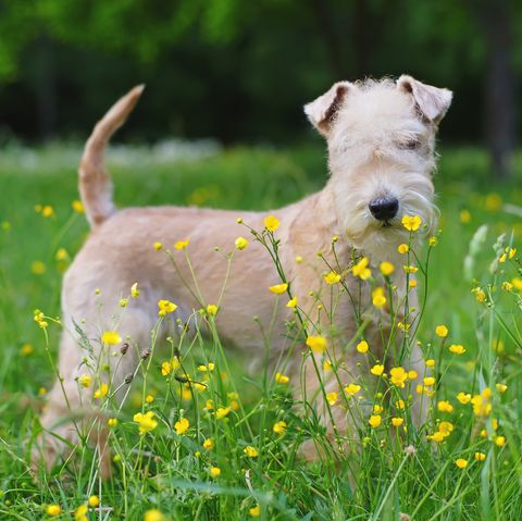 most-expensive-dog-breeds-lakeland-terrier