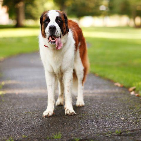 most-expensive-dog-breeds-saint-bernard