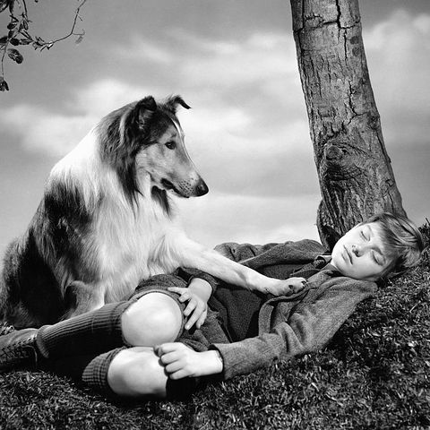most-famous-dogs-Lassie-come-home