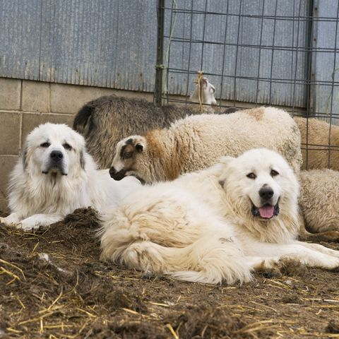 Two Great Pyrenees