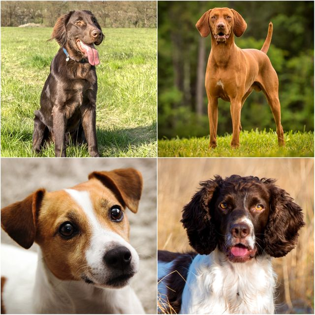10 most spoiled dog breeds in the uk