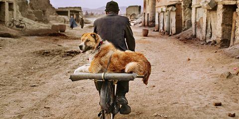 Dog, Mammal, Canidae, Street dog, Carnivore, Dog breed, Vehicle, Canis, Ancient dog breeds, Golden retriever,