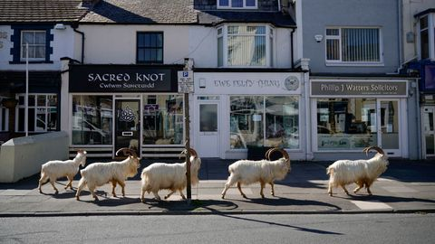Geiten in Wales