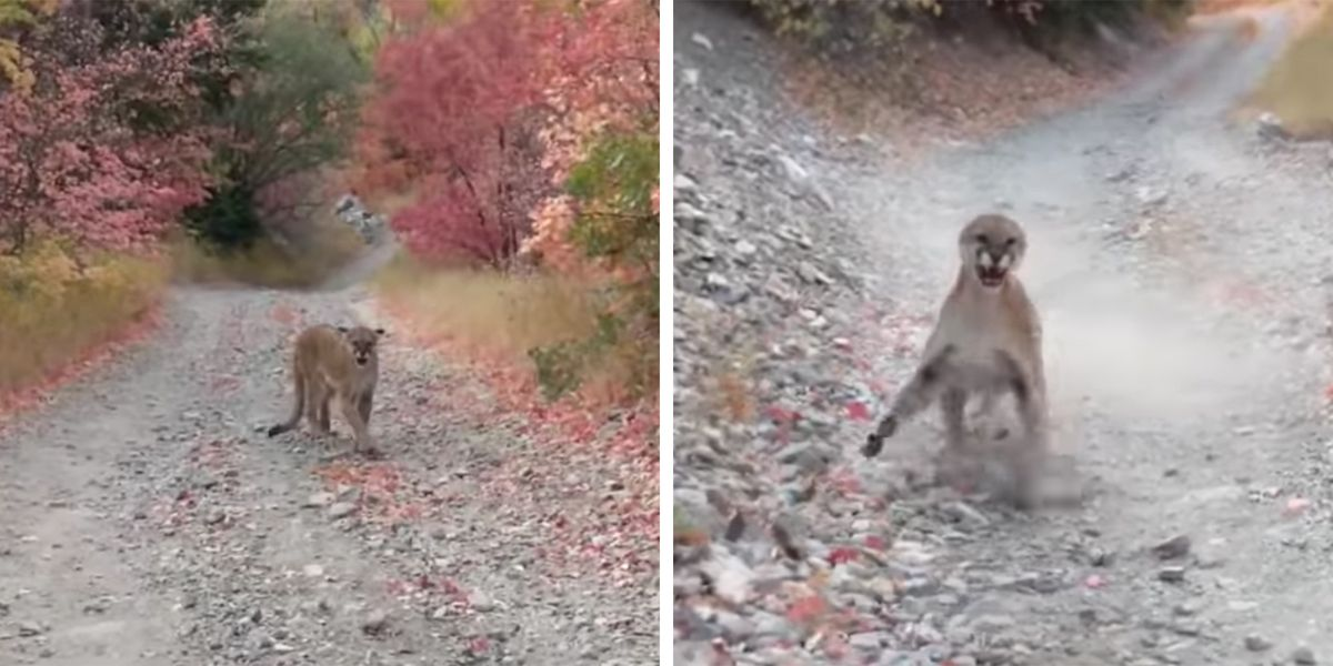 Runner Has Frightening Encounter With Mountain Lion in Utah