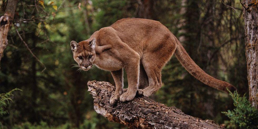 Mountain Lion on Tree Stump