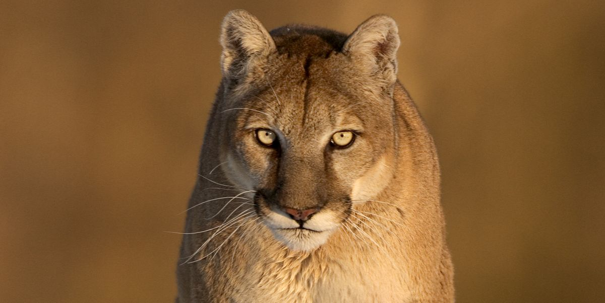 536f63d8e Running Man Attacked by Mountain Lion in Colorado, Kills It in Defense