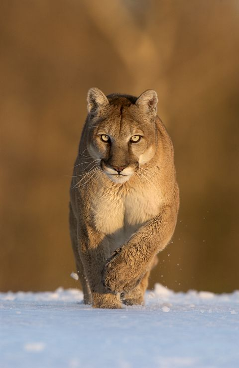 f4f112608 A Man Fought and Killed a Mountain Lion After It Attacked Him on a Run in  Colorado