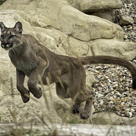 Mountain Lion Series