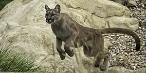 Mountain Lion Series